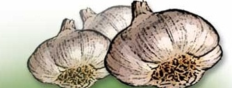 garlic_clove_334
